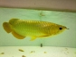 buy quality arowana fishes, chili red, green, silver, asian gold and more(gregpints007@gmail.com).