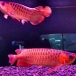 SUPPER RED AND OTHER AROWANAS AVAILABLE